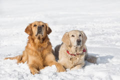 Two Golden retriever - puppy Royalty Free Stock Image