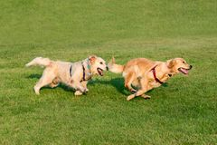 Two Golden Retriever running on grass. Two Golden Retriever dogs playing together and running on green grass lawn, captured in dynamic moment royalty free stock photos