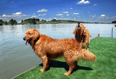 Two golden retriever by water Royalty Free Stock Image