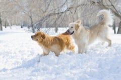 Two golden retrievers Royalty Free Stock Photo