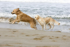 Two Golden retrievers. Playing on the beach Royalty Free Stock Photo