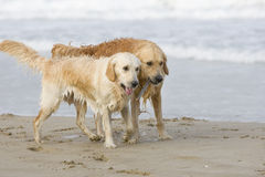 Two golden retrievers. Walking together on the beach Royalty Free Stock Images