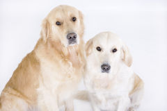 Two golden retrievers. Posing on a white background Stock Photo