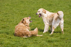 Two golden retrievers Stock Photography