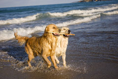 Free Two Golden Retrievers Royalty Free Stock Images - 5919119