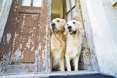 Two Golden Retrievers Royalty Free Stock Photo