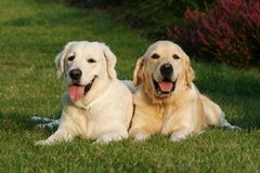 Two golden retrievers Stock Photo