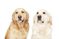 Two Golden Retrievers Stock Images