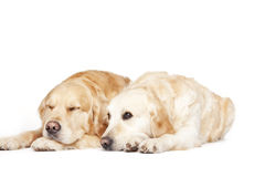 Two Golden Retrievers Royalty Free Stock Photos
