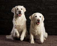 Two Golden retrievers on brick bagground Royalty Free Stock Images