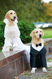 Two golden retrievers dogs in clothing Stock Photography