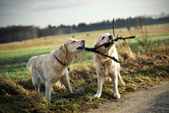 Two golden retrievers Royalty Free Stock Photography