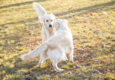 Two golden retrievers playing outdoor Royalty Free Stock Photography