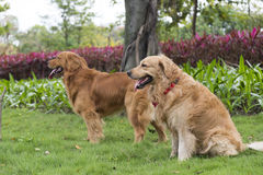 Two golden retrievers Stock Photo