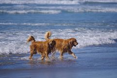 Two golden retrievers in surf at dog beach in California royalty free stock photography