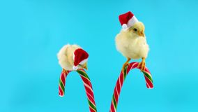 Two golden small roosters in Santa hats, sitting on the candy canes. 2017 Chinese New Year of the Rooster, on blue chroma key stock video footage