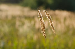 Two golden stalks on grass field Royalty Free Stock Photography