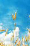 Two golden stems under blue sky Stock Photography