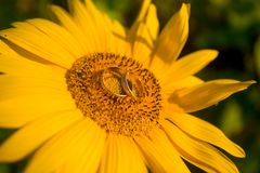 Two golden wedding rings lie on large sunflower with sky background stock image