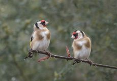 Two goldfinch on a branch Stock Photo