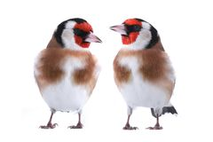 Two goldfinches isolated on a white Stock Image