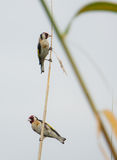 Two Goldfinches on reed Stock Image