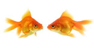 Two goldfish Royalty Free Stock Image