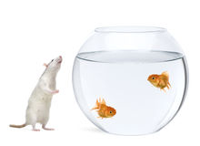 Two goldfish in fish bowl, rat smelling nearby Stock Image