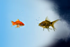 Two Goldfish fish in a polluted zone Royalty Free Stock Images