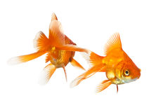 Two goldfish isolated Royalty Free Stock Image