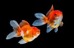 Two Goldfish Isolated On Black Background. Royalty Free Stock Photography