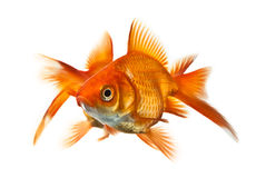 Two goldfish isolated on white Stock Photos