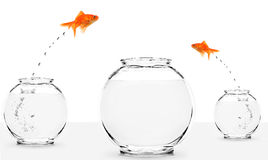 Two goldfish jumping to bigger fishbowl. Isolated on white Stock Images
