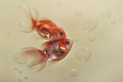 Two goldfish, located in a triangle on the plane, heads touch, tails in different directions, around lot of air bubbles, beige bac Royalty Free Stock Image