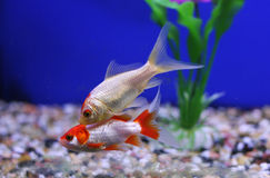 Two goldfish in a tank Stock Photos