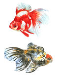 Two goldfish watercolor. Two goldfish on a white background watercolor drawing Royalty Free Stock Images