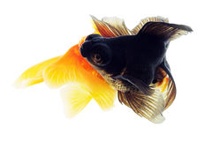 Two Goldfish on White Stock Photos