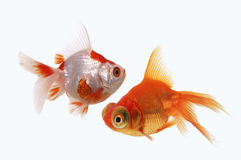 Two goldfish on white background Royalty Free Stock Image