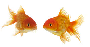 Two goldfishes Royalty Free Stock Images
