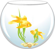 Two goldfishes in the aquarium Royalty Free Stock Photos