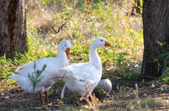 Two goose grazing on the grass in the countryside Stock Image