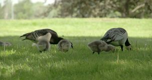 Two goose and three goslings 4K FS700 Odyssey 7Q. Two goose and three goslings eating on a slow motion on the grass 4K FS700 Odyssey 7Q stock video