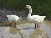 two goose royalty free stock photography