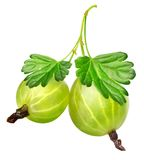 Two gooseberries Stock Image