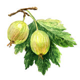 Two gooseberries isolated on white Stock Photography