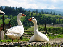 Two gooses. On Carpathians mountains background Stock Image