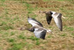 Two gooses Stock Images