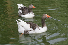 Two gooses in lake stock image