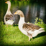 Two Gooses in Springtime Stock Images