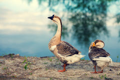 Two gooses Royalty Free Stock Images